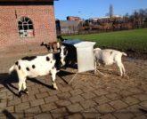 Kinderboerderij Amsterdam Stadsboerderij Zimmerhoeve 2